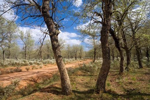Oak forest Quercus pyrenaica in the Sierra de Gata, in the Salamancaa province  Castilla y León  Spain : Stock Photo