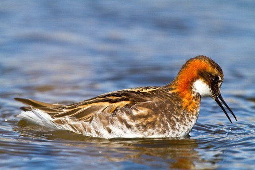 Adult red-necked Phalarope Phalaropus lobatus in breeding plumage on Flatey Island in Iceland  MORE INFO This species exhibits reverse sexual dimorphism, females are larger and more brightly coloured than males  The females pursue males, compete for nesti : Stock Photo