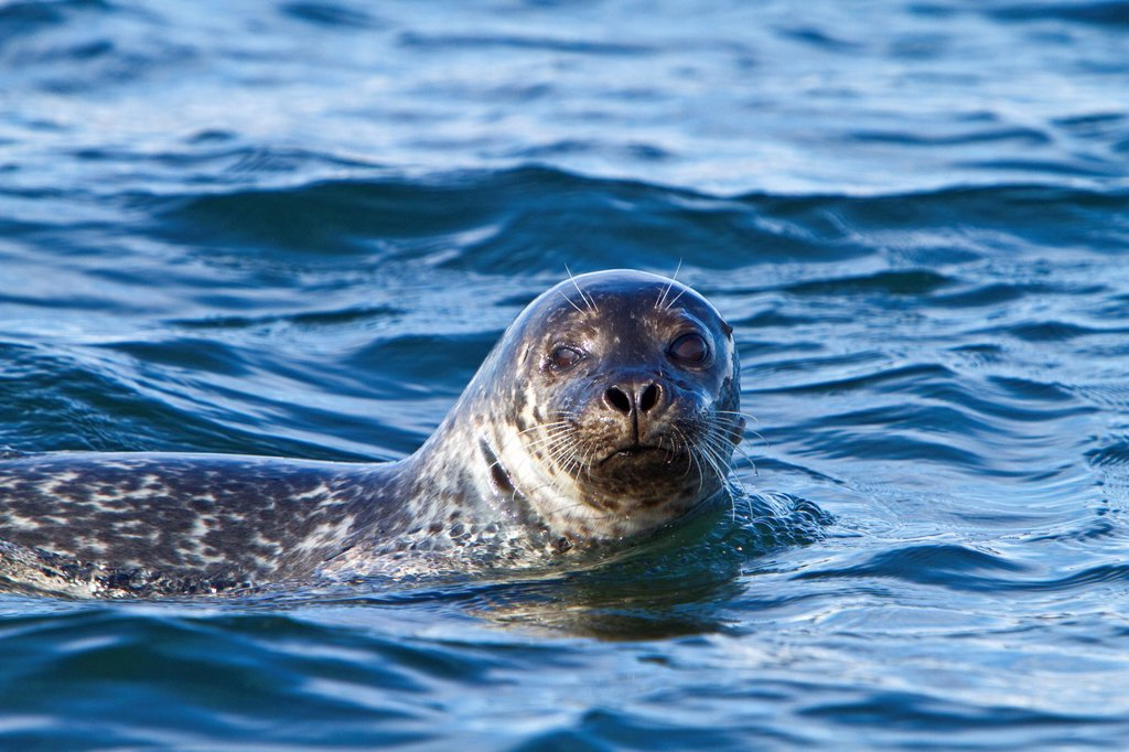 Curious harbor seal Phoca vitulina approaches the Zodiac at Vigur Island in Iceland  MORE INFO This seal is also known as the common seal or the harbour seal  With an estimated 400,000 to 500,000 individuals worlwide it is one of the most numerous seals i : Stock Photo