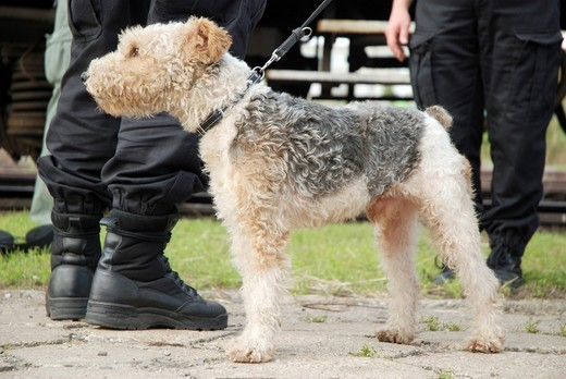 Police foxterier sniffer dog trained for drug searching : Stock Photo