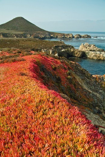 Coastal flowers and scenics along Route 1 south of San Francisco. : Stock Photo