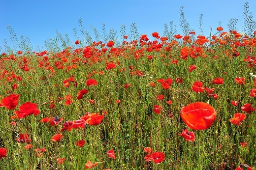 Field of flowering poppys. : Stock Photo