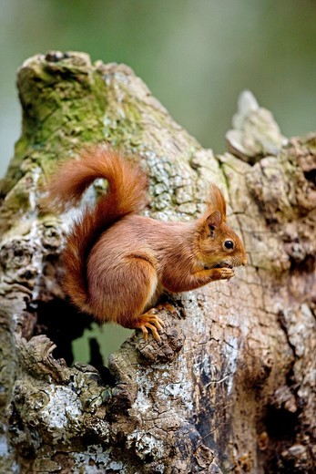 RED SQUIRREL sciurus vulgaris, ADULT EATING HAZELNUT, NORMANDY IN FRANCE : Stock Photo