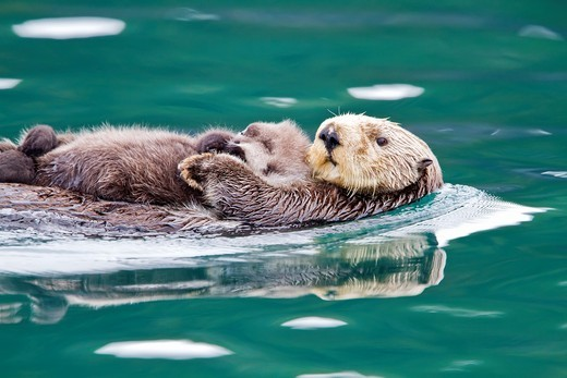 Adult sea otter Enhydra lutris kenyoni mother and pup in Inian Pass, Southeastern Alaska, USA  Pacific Ocean  MORE INFO: This sub-species ranges from the Aleutian Islands throughout southeast Alaska to Oregon  Adult sea otters typically weigh between 14 a : Stock Photo