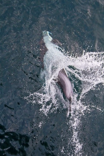 A pod of Pacific white-sided dolphins Lagenorhynchus obliquidens leaping and bow-riding the National Geographic Sea Bird in Johnstone Strait, British Columbia, Canada  MORE INFO The range of the Pacific white-sided dolphin arcs across the cool to temperat : Stock Photo