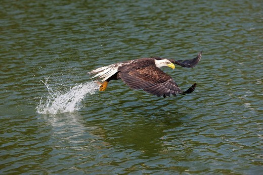 BALD EAGLE haliaeetus leucocephalus, JUVENILE FISHING IN LAKE : Stock Photo