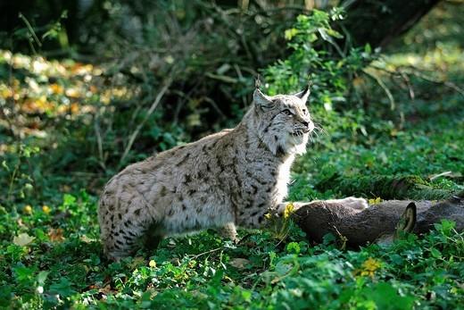 EUROPEAN LYNX felis lynx, ADULT WITH ROE DEER KILL : Stock Photo