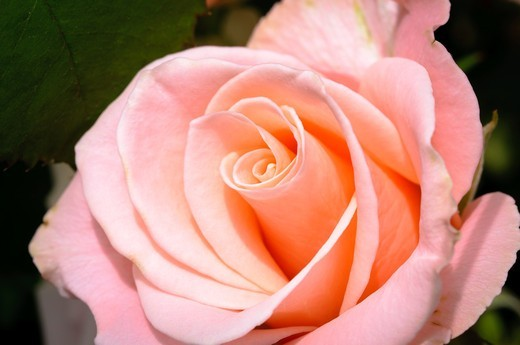 Stock Photo: 1566-597931 Pink rose