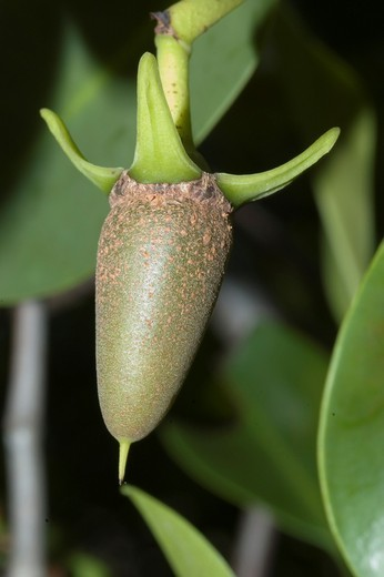 Red Mangrove, Rhizophora mangle, Propagule initial phase emerging from the mangrove in the Florida Keys : Stock Photo