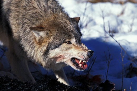Stock Photo: 1566-598879 NORTH AMERICAN GREY WOLF canis lupus occidentalis, ADULT WITH KILL IN THREAT POSTURE, CANADA