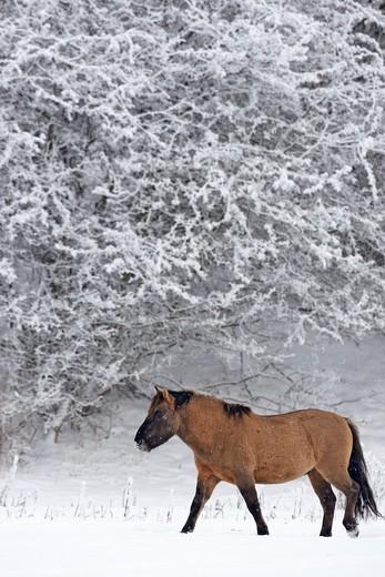 Konik Horse : Stock Photo