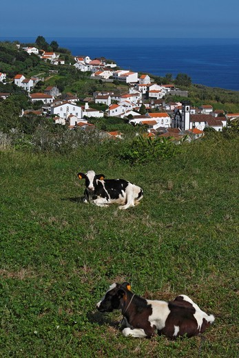 Calves with Santo Antonio in the Background / Sao Miguel Island / Azores / Portugal : Stock Photo