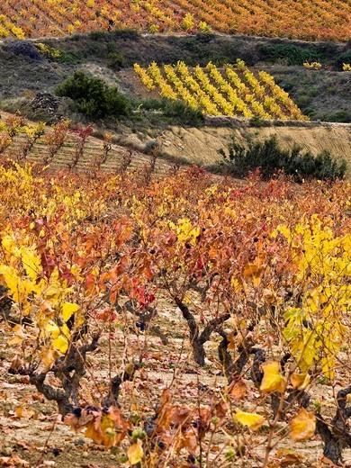 Stock Photo: 1566-600129 Viñedos en otoño en Elciego - Rioja Alavesa - Euskadi - España
