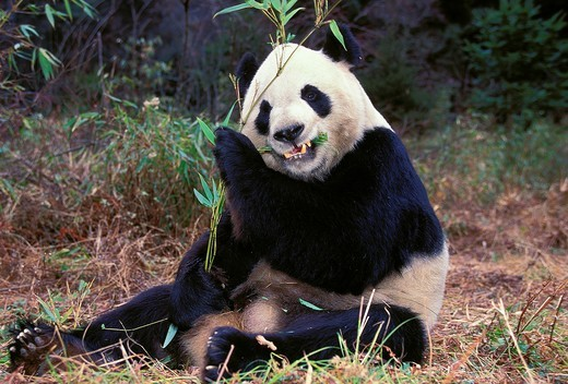 Stock Photo: 1566-600576 GIANT PANDA ailuropoda melanoleuca, ADULT EATING BAMBOO LEAVES, WOLONG RESERVE IN CHINA