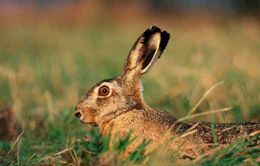 EUROPEAN BROWN HARE lepus europaeus, ADULT LOOKING OUT : Stock Photo