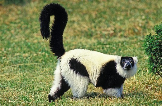 Stock Photo: 1566-601255 BLACK AND WHITE RUFFED LEMUR varecia variegata variegata, ADULT