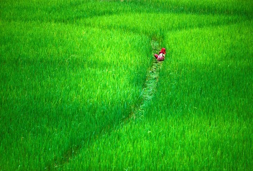 Rice field  Pokhara valley  Nepal. : Stock Photo