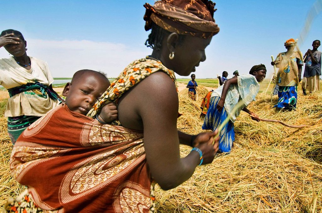 Stock Photo: 1566-603102 Rice harvest near Timbuktu, Mali