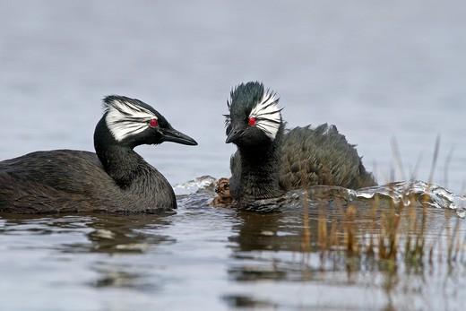 Stock Photo: 1566-604036 Falkland Islands , Pebble island , White-tufted Grebe  Local name : Black grebe  Podiceps rolland or Rollandia rolland.