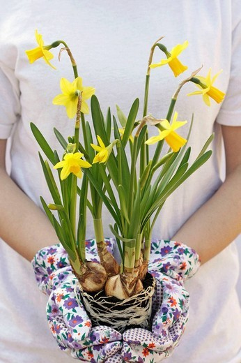 Transplanting daffodils : Stock Photo