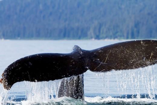 Stock Photo: 1566-610366 Humpback whale  Caudal fin  Tail  Megaptera novaeangliae  Order: Cetacea Suborder: Mysticeti Family: Balaenopteridae