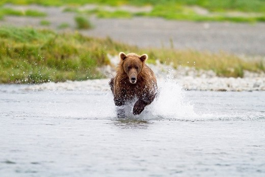 Alaska , Katmai National Park and Preserve , McNeil River Bear Viewing and Wildlife Sanctuary , Grizzly bear  Ursus arctos horribilis  , family : ursidae , order : carnivora : Stock Photo