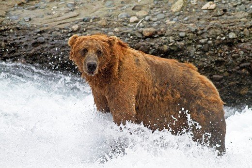 Stock Photo: 1566-610501 Alaska , Katmai National Park and Preserve , McNeil River Bear Viewing and Wildlife Sanctuary , falls of the Mc Neil river , Grizzly bear  Ursus arctos horribilis  , family : ursidae , order : carnivora