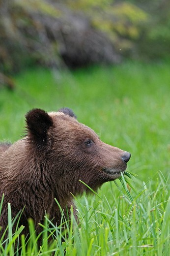 Grizzly Bear eating grass in the Khuzemateen Grizzly Bear Sanctuary, British Columbia, Canada : Stock Photo