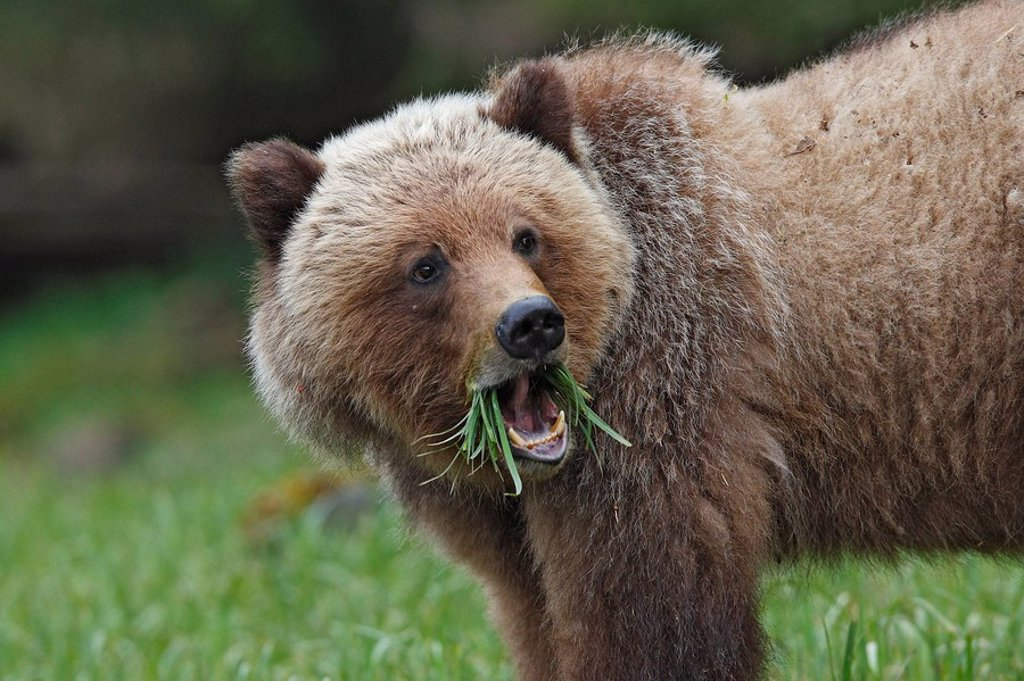 Stock Photo: 1566-610938 Grizzly Bear eating grass in the Khuzemateen Grizzly Bear Sanctuary, British Columbia, Canada