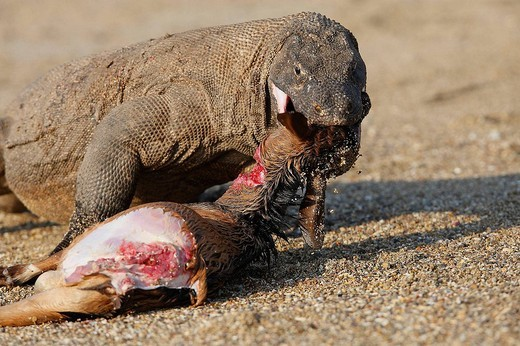 Stock Photo: 1566-610971 Komodo dragon (Varanus komodoensis) devouring a goat. Komodo island, Indonesia