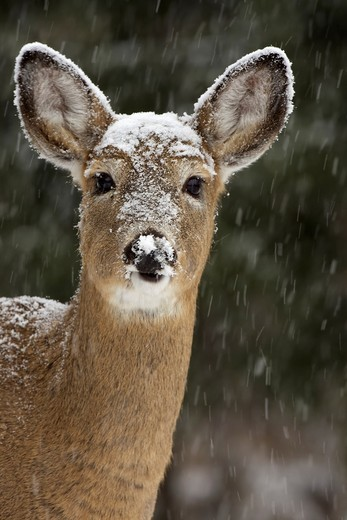 White-tailed deer - Odocoileus virginianus - doe - New York - USA. : Stock Photo