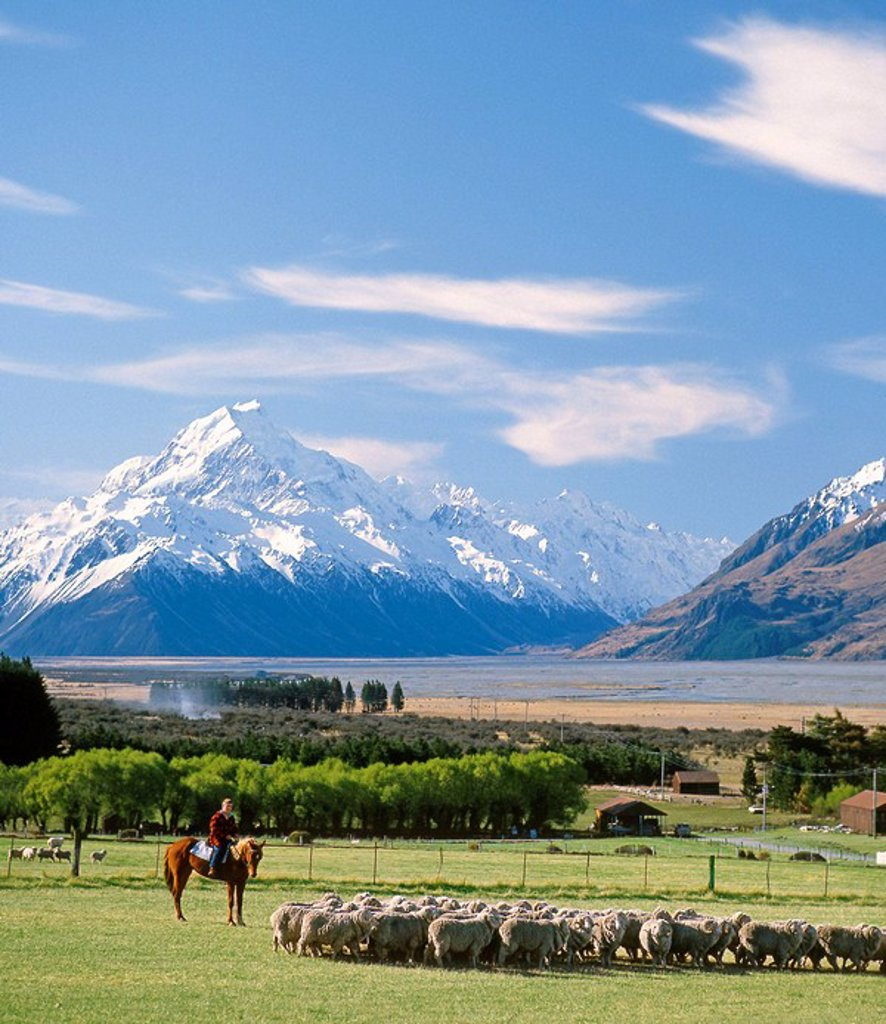 Stock Photo: 1566-613680 Musterer moving a mob of sheep at Glentanner Station Aoraki / Mt Cook in background Mackenzie country New Zealand