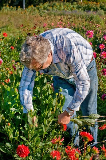 Stock Photo: 1566-613783 Farmer picking dahlias on organic flower farm to be sold at farmers market, Humboldt County, California