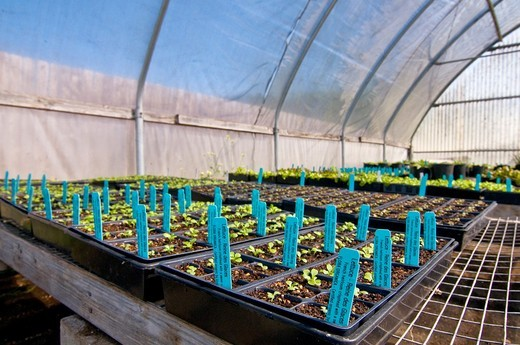 Lettuce starts in greenhouse on organic farm, Humboldt County, California : Stock Photo