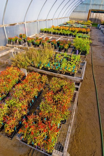 Stock Photo: 1566-613803 Young plants in greenhouse on organic flower farm, Humboldt County, California