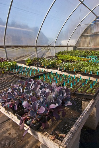 Stock Photo: 1566-613811 Young organic plants in greenhouse on organic farm, Humboldt County, California