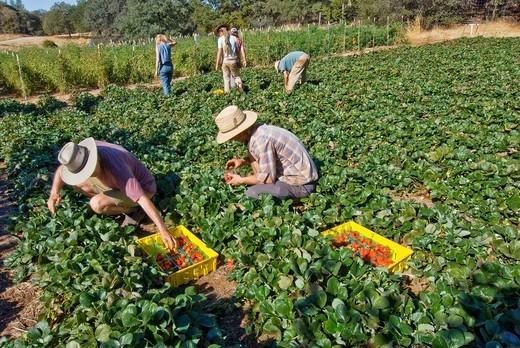 Picking strawberries on small organic farm, Nevada City, California : Stock Photo