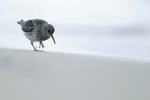 Stock Photo: 1566-614653 Purple Sandpiper (Calidris maritima), Norway, April 2010