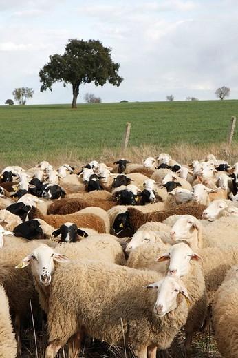 Stock Photo: 1566-616169 Flock of ´assaf´ breed in La Almendra. Zamora province, Castilla-León, Spain