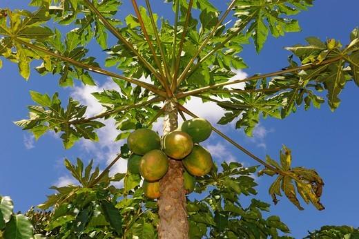 Stock Photo: 1566-616437 Papaya Trees Dole Plantation Wahiawa Honolulu Hawaii Oahu Pacific Ocean