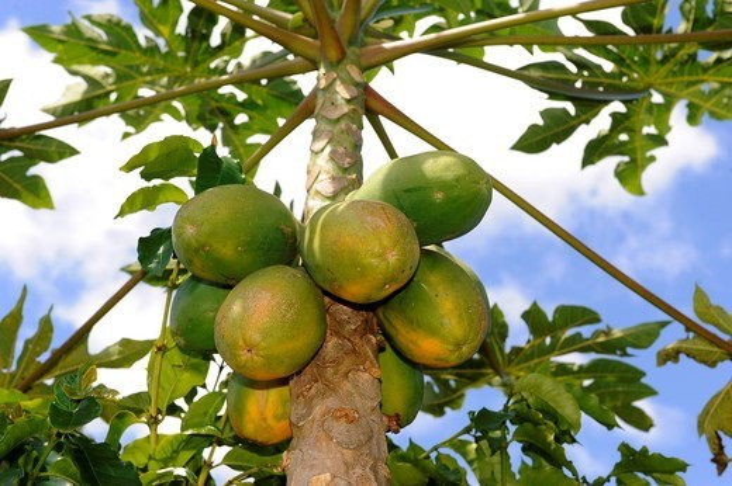 Papaya Trees Dole Plantation Wahiawa Honolulu Hawaii Oahu Pacific Ocean : Stock Photo