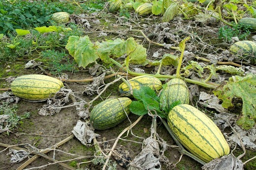Stock Photo: 1566-616895 Pumpkins ´Stripetti´ on a field ready for harvest  Schleswig-Holstein  Germany
