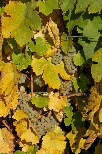 Stock Photo: 1566-617396 Alsace wine route town Hunawihr France vineyard harvest grapes
