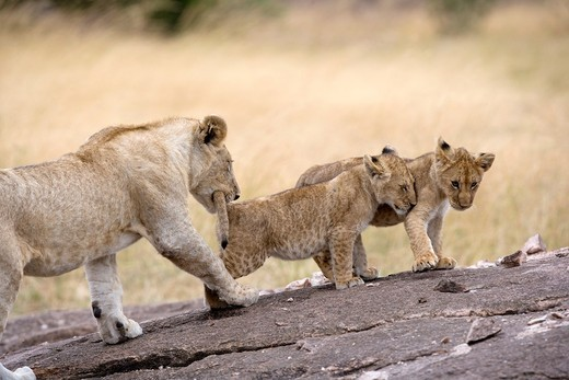 Lion pride Masai Mara - Kenya : Stock Photo
