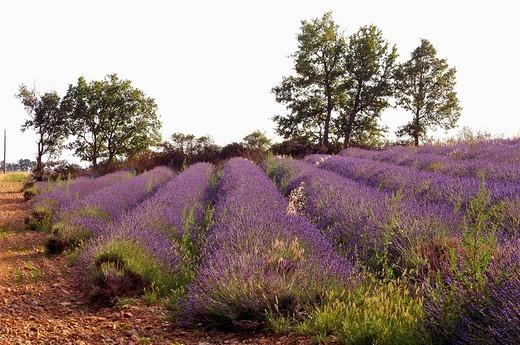 France, Alpes-de-haute-provence, champs de lavande sur le plateau de Valensole : Stock Photo
