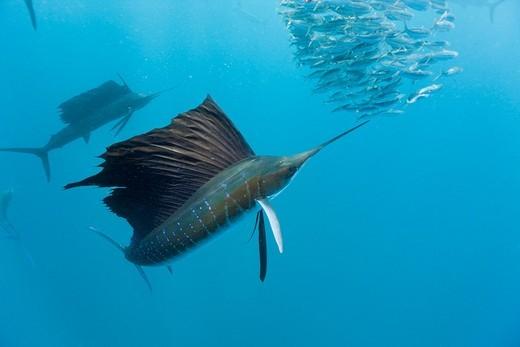 Stock Photo: 1566-621400 Atlantic Sailfish hunting Sardines, Istiophorus albicans, Isla Mujeres, Yucatan Peninsula, Caribbean Sea, Mexico