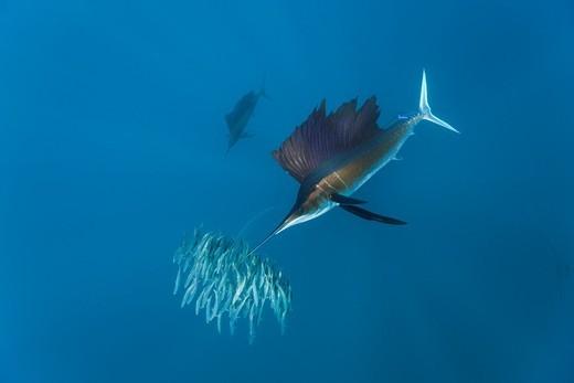 Stock Photo: 1566-621404 Sailfish hunting Sardines, Istiophorus albicans, Isla Mujeres, Yucatan Peninsula, Caribbean Sea, Mexico