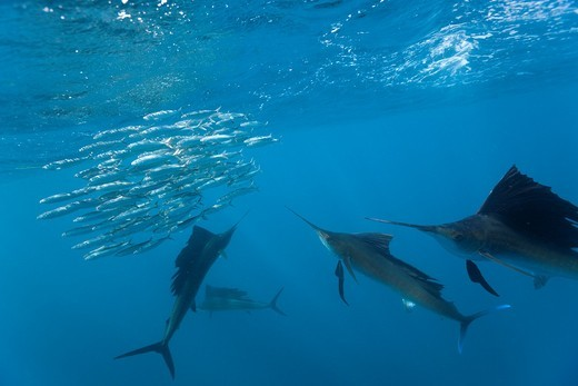 Atlantic Sailfish, Istiophorus albicans, Isla Mujeres, Yucatan Peninsula, Caribbean Sea, Mexico : Stock Photo