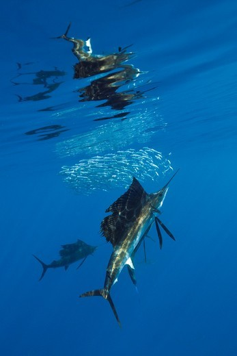 Atlantic Sailfish, Istiophorus albicans, Isla Mujeres, Yucatan Peninsula, Caribbean Sea, Mexico : Stock Photo