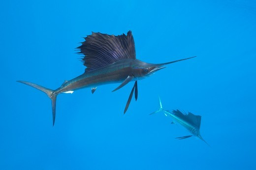 Stock Photo: 1566-621421 Atlantic Sailfish, Istiophorus albicans, Isla Mujeres, Yucatan Peninsula, Caribbean Sea, Mexico